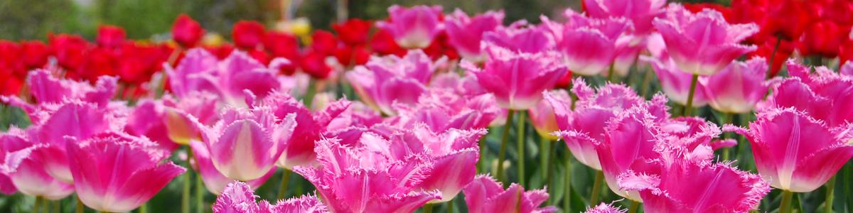 咲き乱れるチューリップ