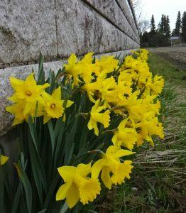 田の畔に咲き乱れるスイセン