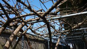 散居村ではキウイが栽培できる